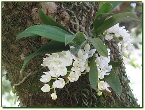 Orchids in Putrajaya