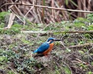A kingfisher in his moods
