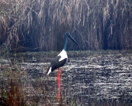 Black-necked stork in Dudhwa