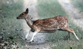 A spotted deer galloping to safety in Dudhwa