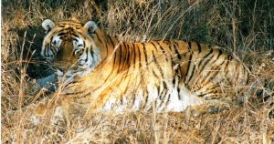 One of the last tigers of Panna, before they disappeared from the park few years ago