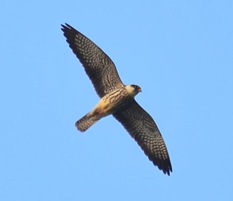A female Amur Falcon in the flight