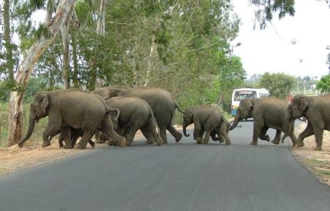 Elephants crossing a highway in Karnataka. Photo: indiasendangered.com