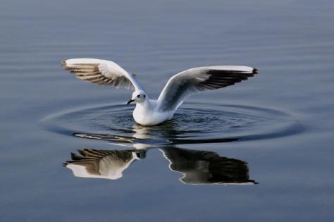 A migratory sea-gull
