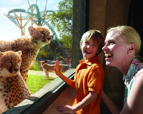 Cheetah Hunt. Photo: Busch Gardens