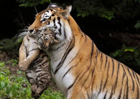 Amur tiger with a cub