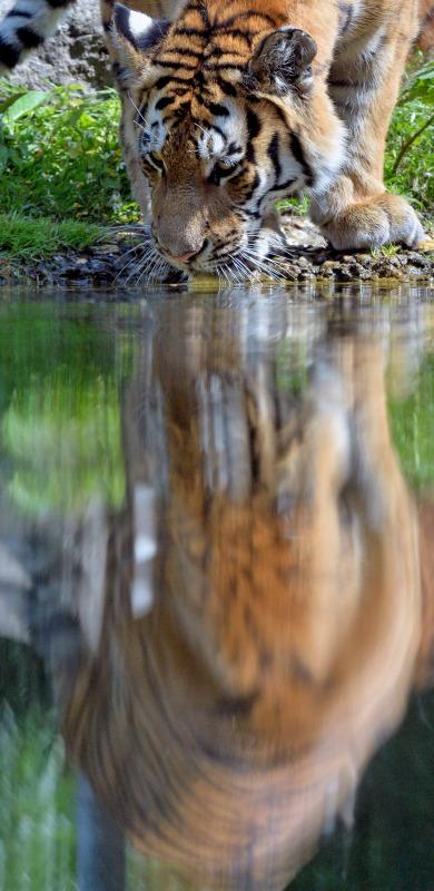 Amur tiger cooling off.