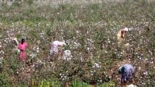 In the cotton fields of Kerala!