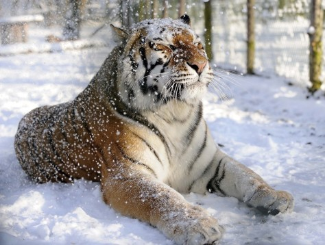 Tiger in snow