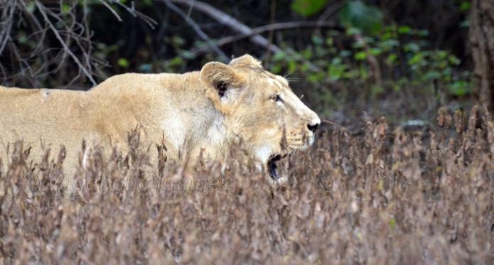 lioness in Gir