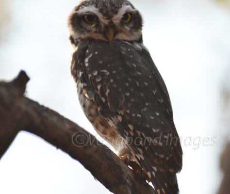 Not owling!