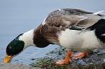 A male mallard duck searching for food in water!