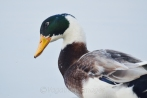 A male mallard duck makes a glance towards me