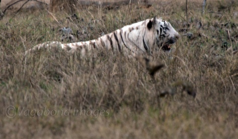 Experts say that colour of skin compromises with camouflaging abilities of white tiger.