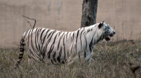 White Tiger Raghu aged two and half years at Mukundpur zoo.