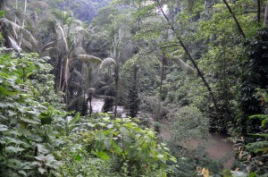 Ayung river amidst thick rainforest