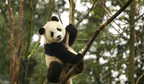 Giant Panda has improved to Vulnerable. Photo: Martha de Jong-Lantink