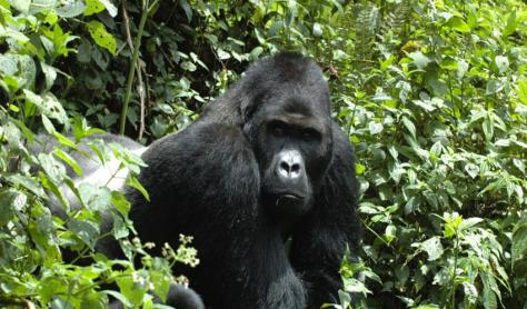 Eastern Gorilla.  Critically Endangered. Photo: Intu Boedhihartono