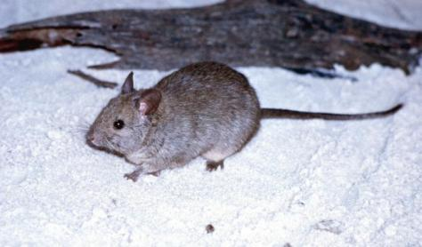 Greater Stick-nest Rat is Near Threatened. Photo: Hj Aslin