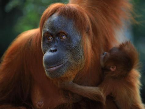 Sumatran Orangutan. Photo: worldwildlife.org