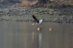 passes two brahmins ducks