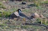 Sariska Birds25