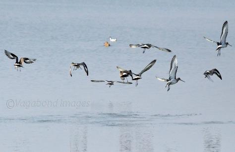 Black-tailed godwits in flight at Sambhar lake