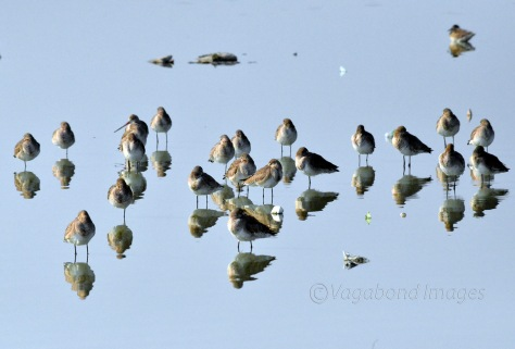 Black tailed godwits make a good reflection