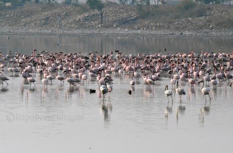 Sambhar Flamingos12