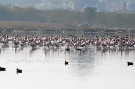 Sambhar Flamingos13