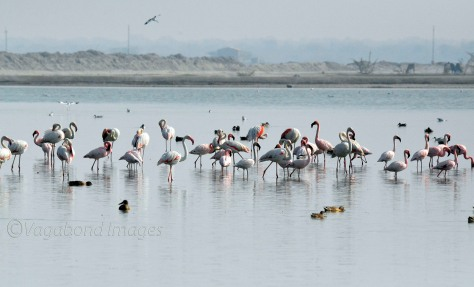 Sambhar Flamingos28