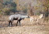 Here is a nilgai too