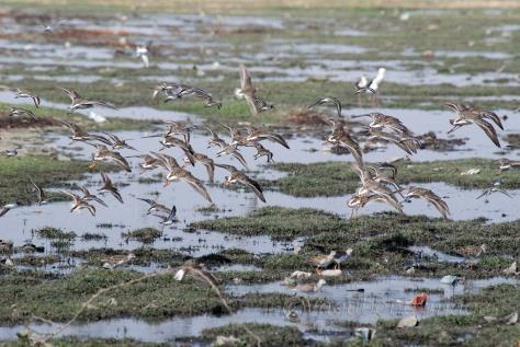 a flock of marsh sandpipers flying over the Sambhar lake